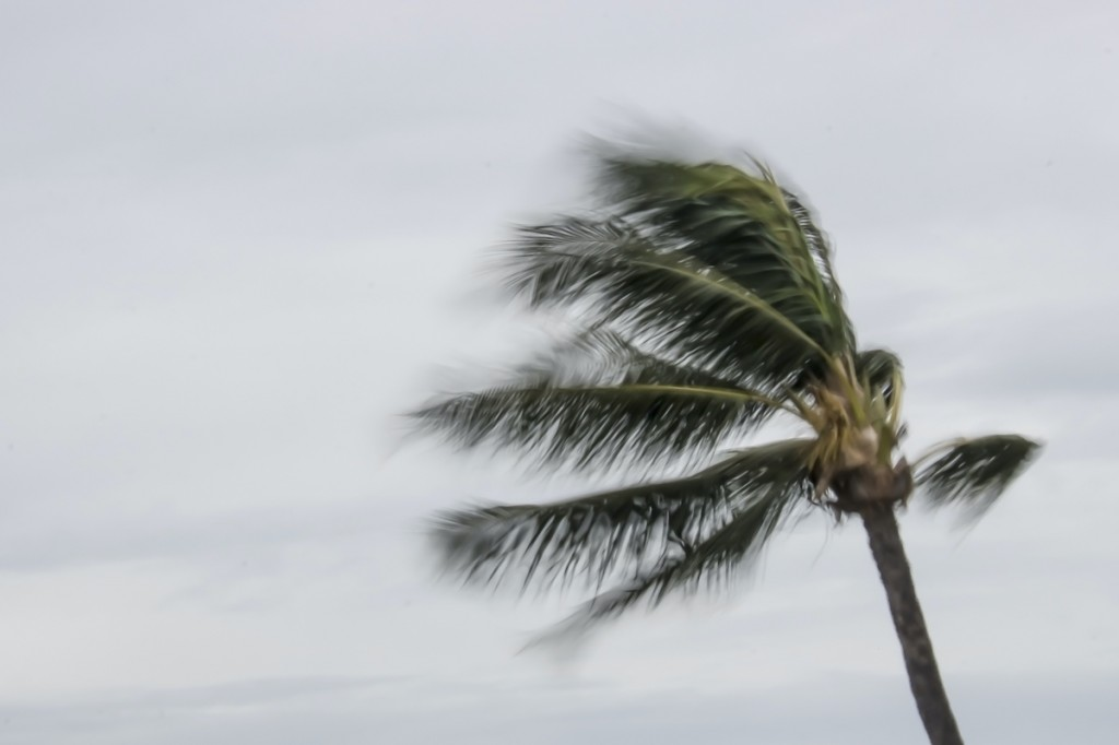 Blowing Palm Tree During Storm In Hawaii