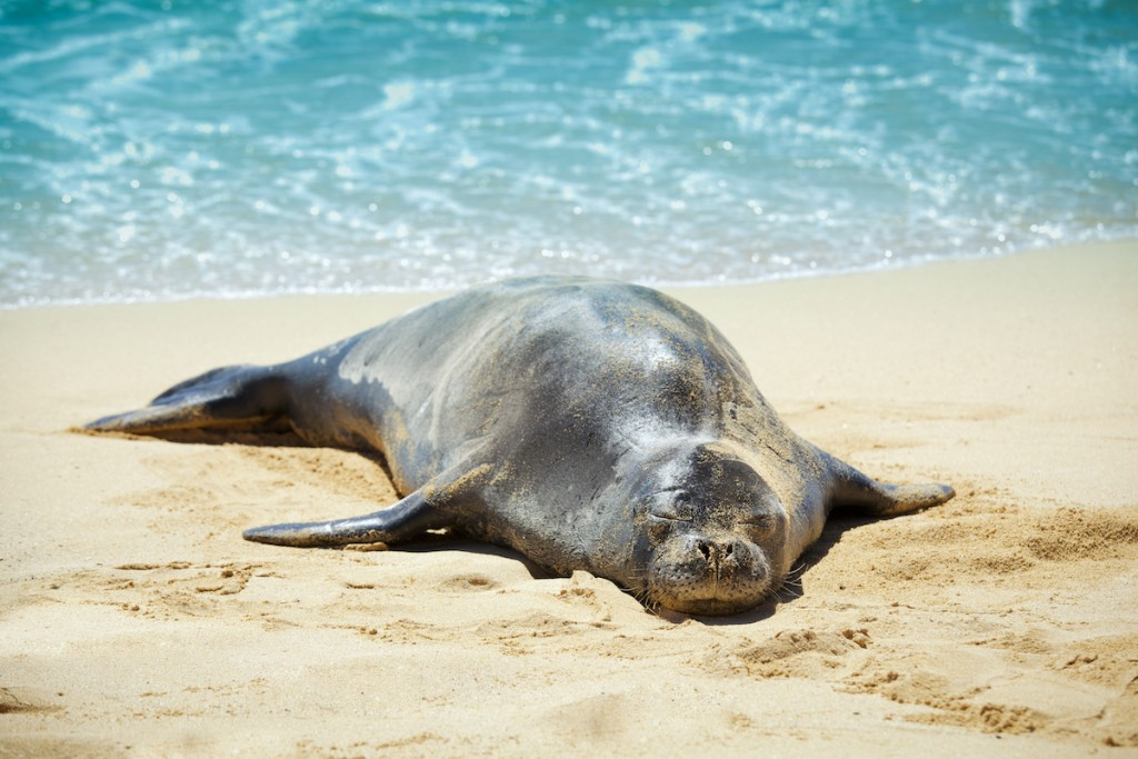 Hawaiian Monk Seal Sleeping On The Sandy Beach Of Kauai