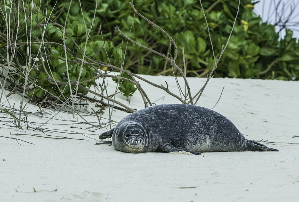 The Hawaiian Monk Seal, Monachus Schauinslandi Now Neomonachus Schauinslandi, Is An Endangered Species Of Earless Seal In The Phocidae Family That Is Endemic To The Hawaiian Islands.they Are Solitary Animals. The Hawaiian Monk Seal Is One Of Two Remainin