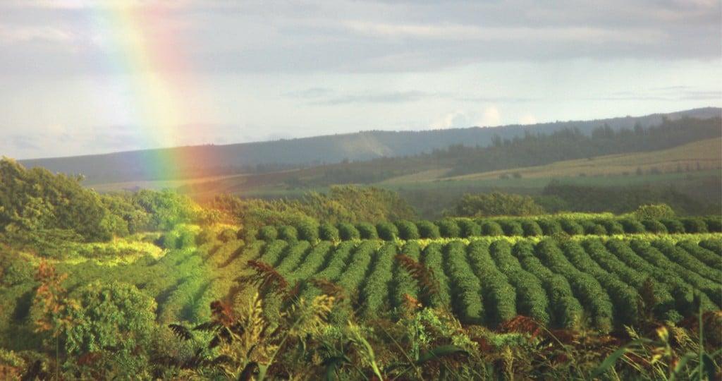 rainbow over kauai coffee farm