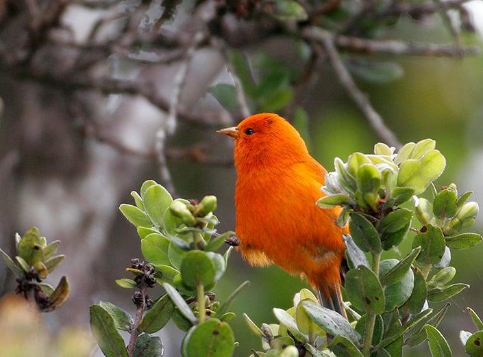 Hawaii Akepa 15