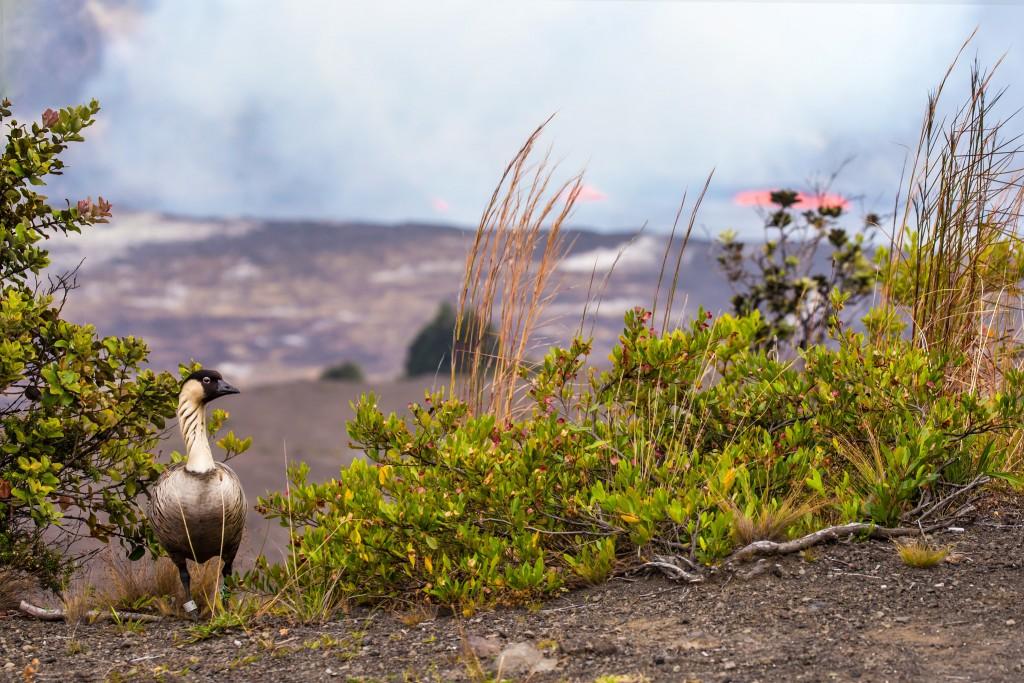 Nene Kilauea