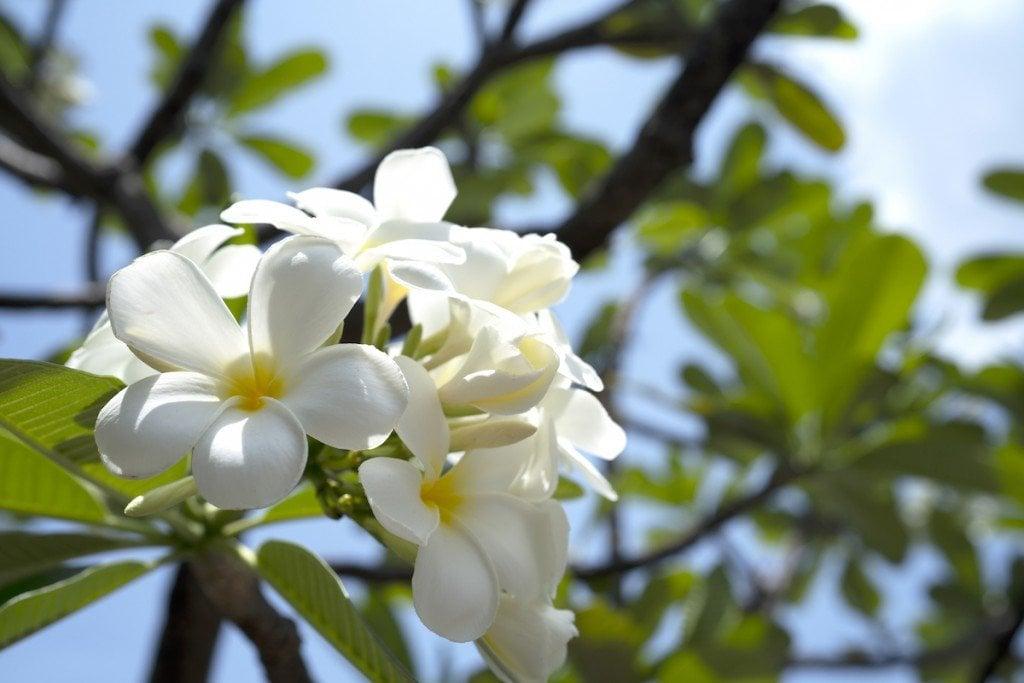 Plumeria White Gettyimages 1147754566 1024x683