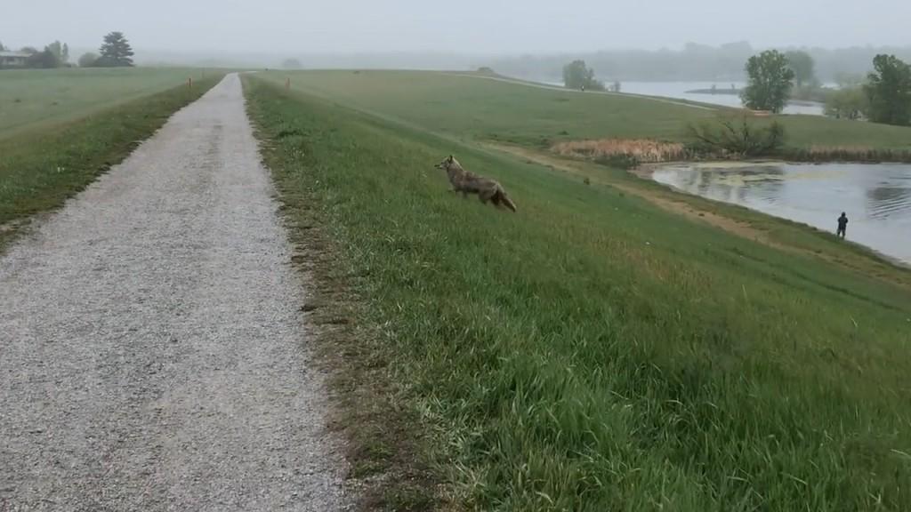 Coyote Tt