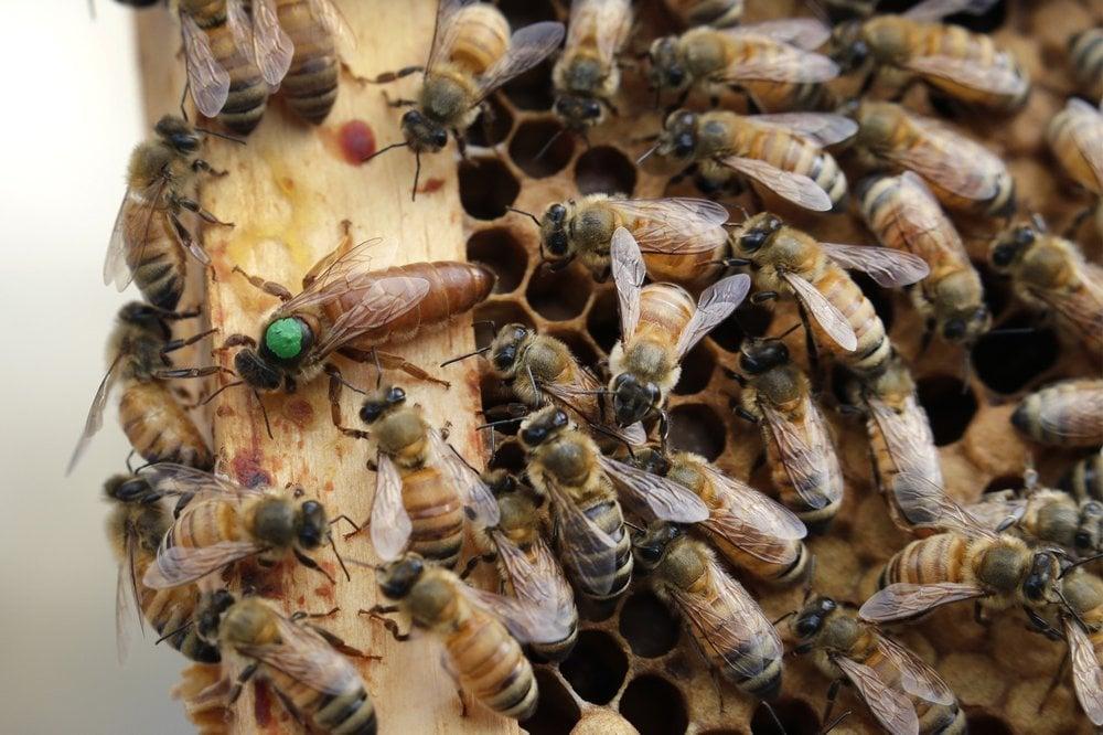 Ap Bees