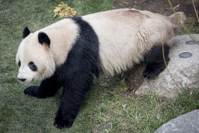 Ap Panda