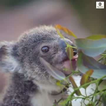 Australia Welcomes Nine Baby Koalas