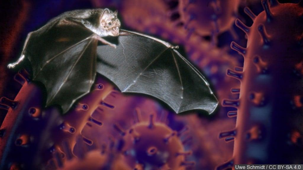 rabies, bat