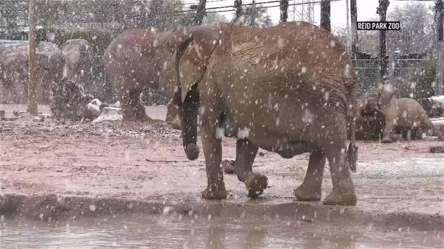 Elephants Play In Snow