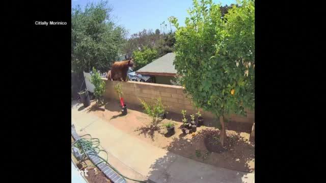 Teen Fends Off Bear In Bradbury Backyard
