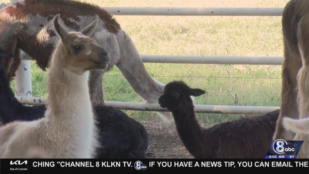 Meet Cuddly Critters During National Alpaca Farm Days
