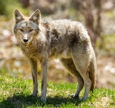 Wildcat Wednesday: Coyote Management (Part 2)
