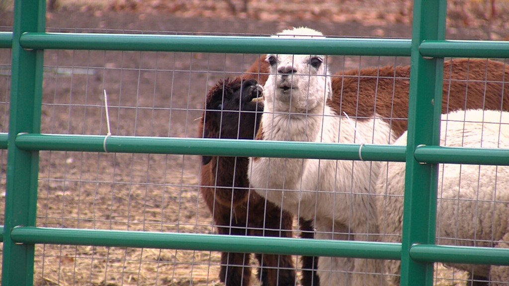 Chetopa man moving animals from town after one is killed and ordinance is adopted