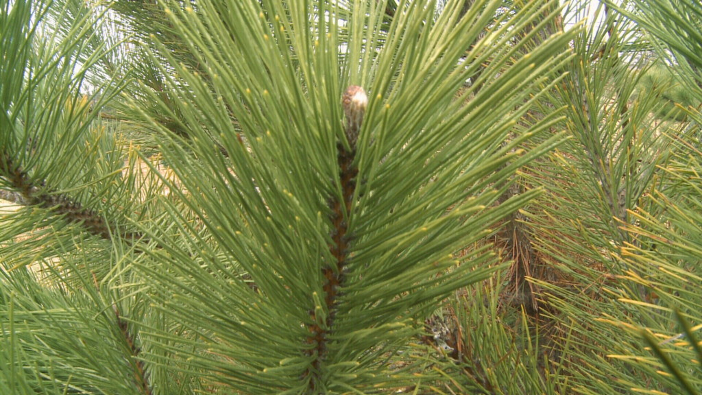 Joplin offers three locations for natural Christmas tree recycling
