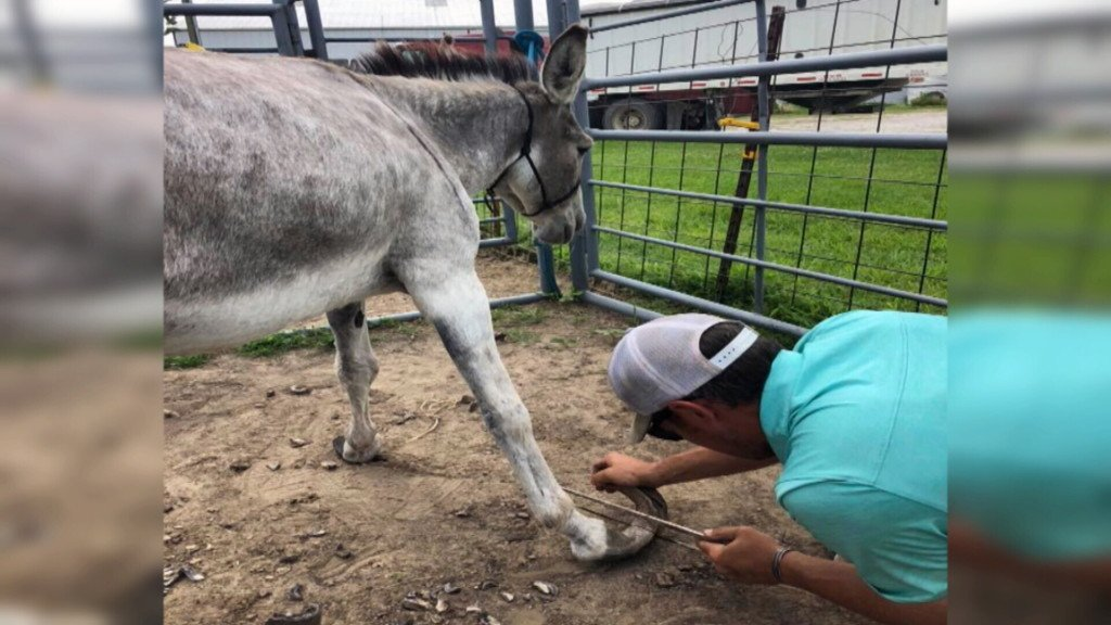 Donkeys rescued after years of neglect led to near immobilization