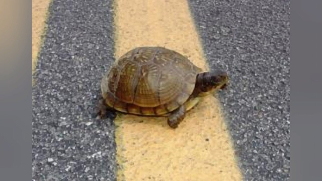 Drivers are urged to slow down, give turtles a brake