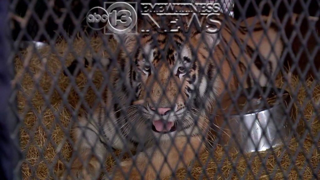 Person goes to smoke marijuana in abandoned house, finds tiger