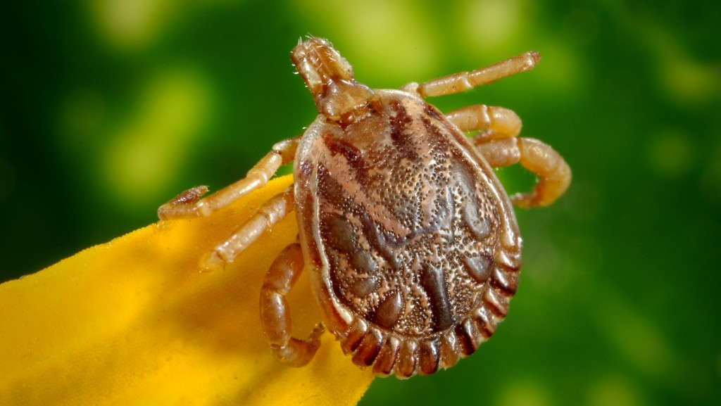 Potentially fatal tick-borne infection found for first time in UK