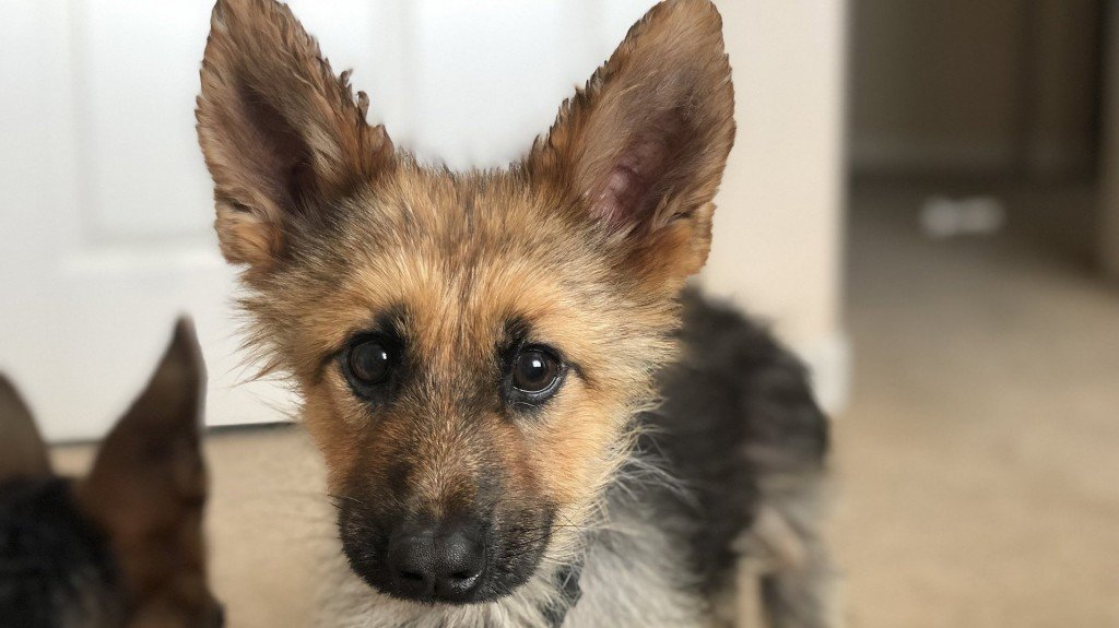 This German shepherd will forever look like a puppy