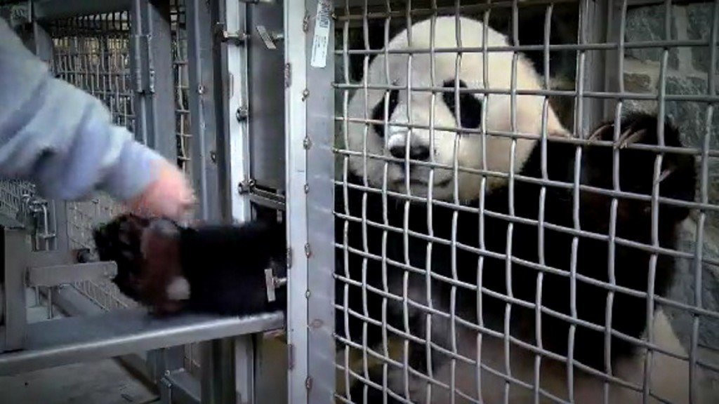 Bei Bei the Panda ready to head home to China