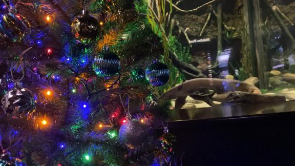 Electric eel powers Christmas lights