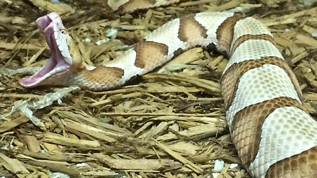Pennsylvania woman bitten by copperhead snake while doing laundry