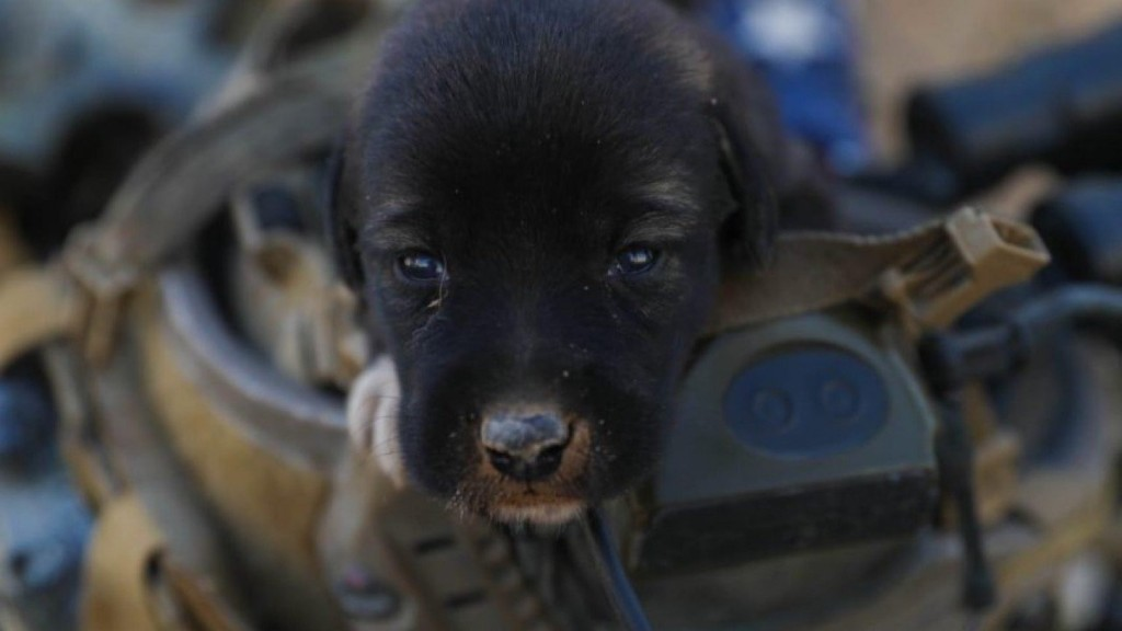 Soldiers rescue puppies in Afghanistan; you can help bring them home