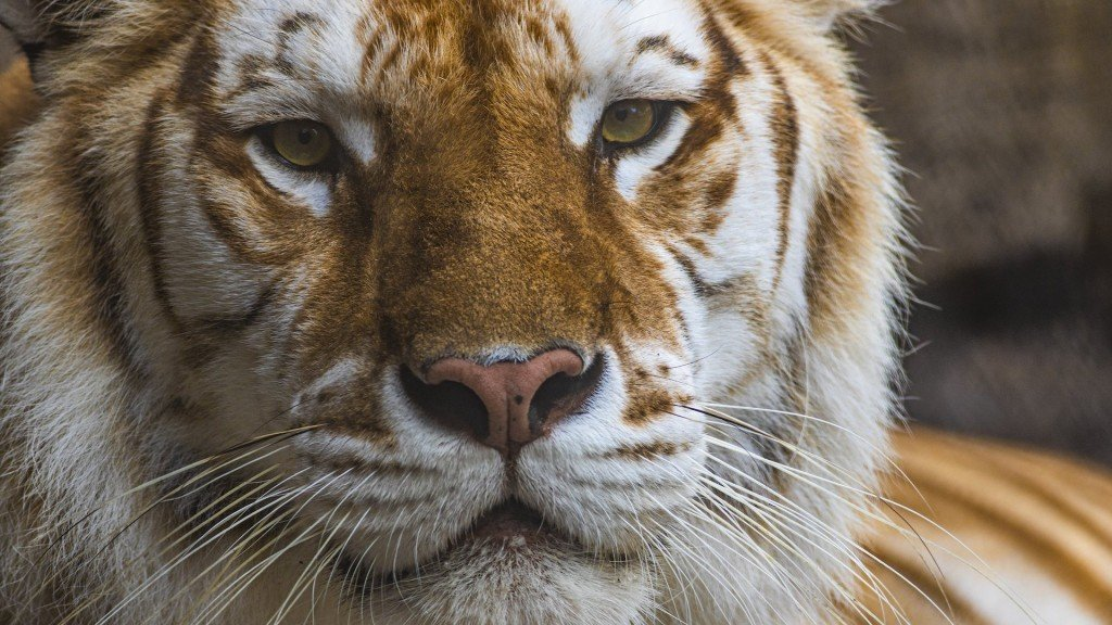 Bengal tiger at Busch Gardens dies after fight with her brother