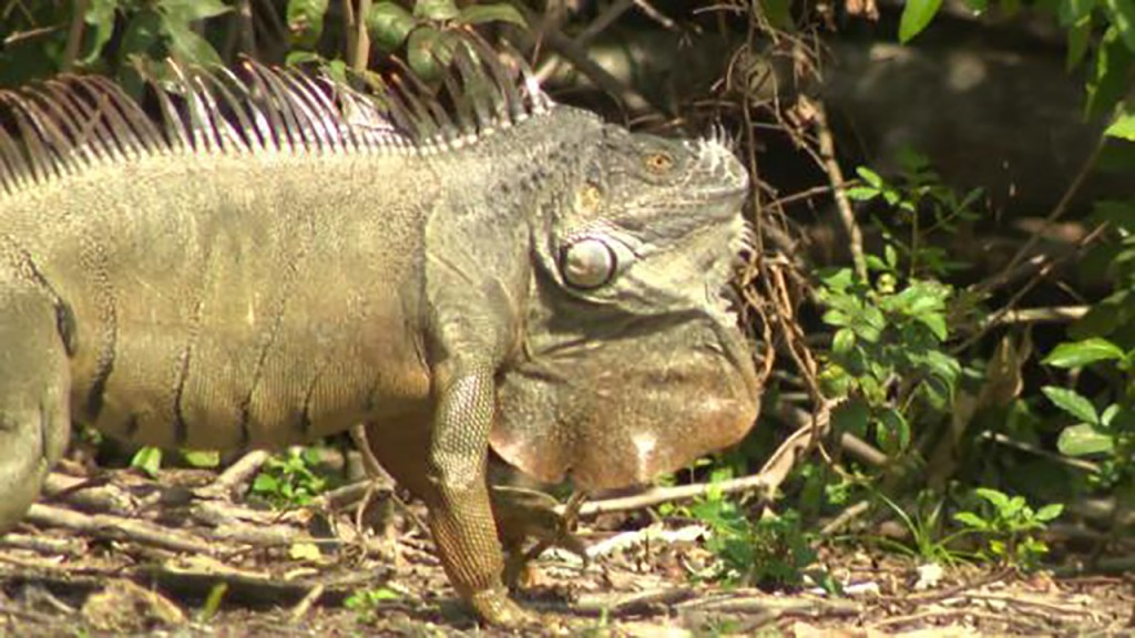 Fla. officials clarify call for deaths of invasive green iguanas