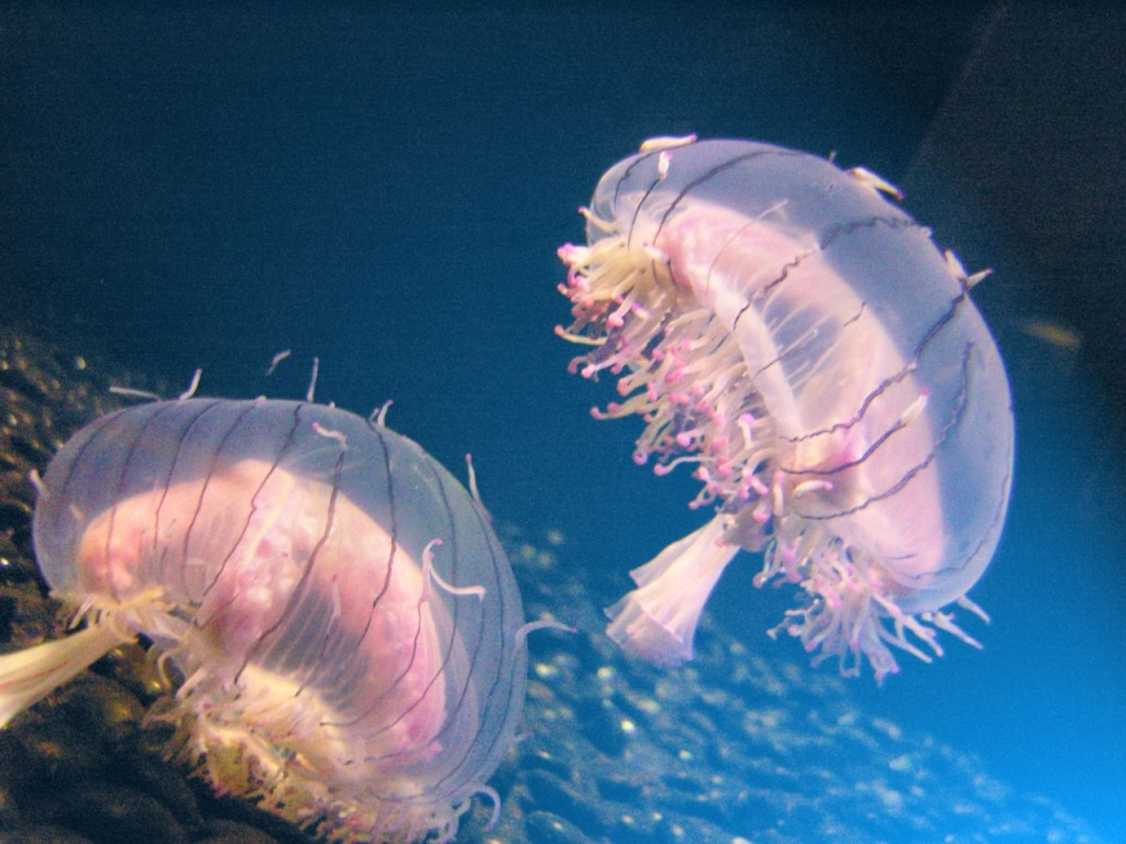 Jellyfish seen swimming in Venice's canals