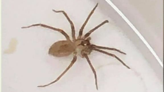 Doctors find brown recluse spider in woman's ear