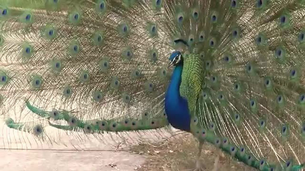 Family peacock escapes with flock of turkeys