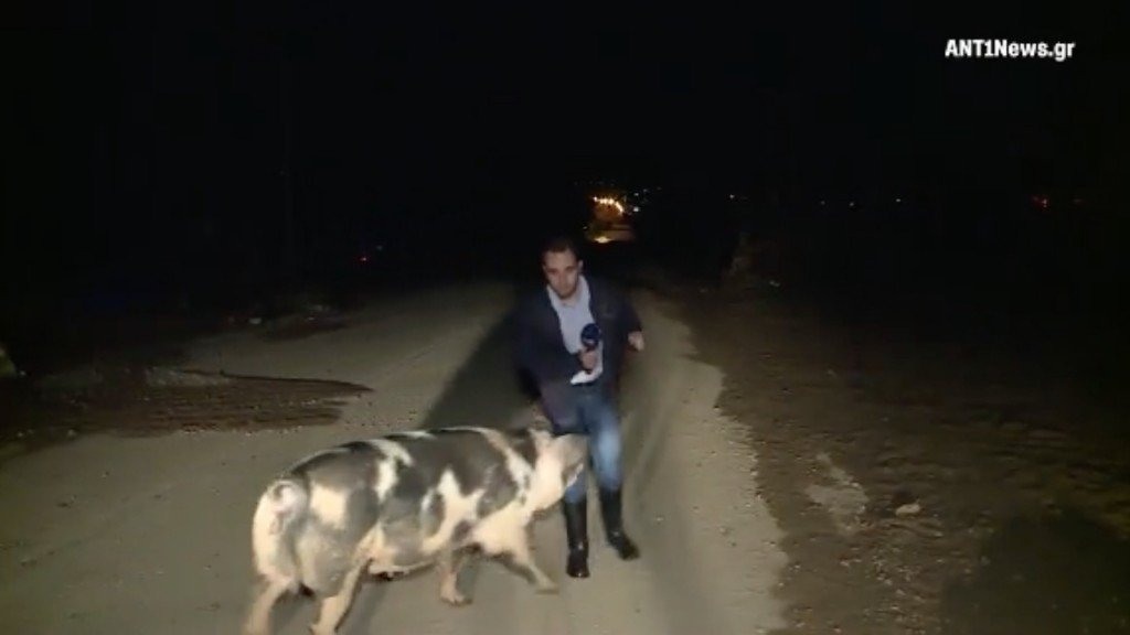 Pig chases reporter on live TV in Greece