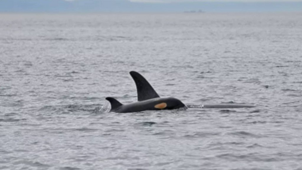 Female orca's birth good news for dying species