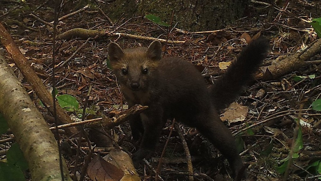 Oregon wildlife officials ban trapping of martens in bid to revive its population