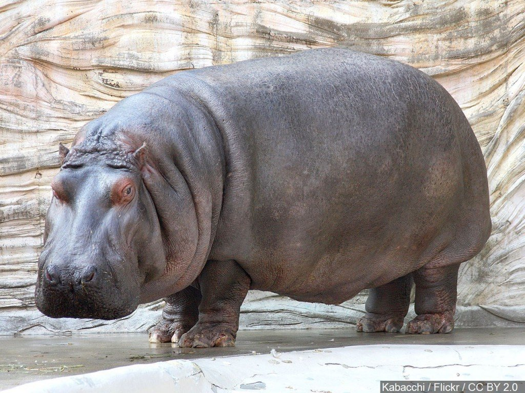 An endangered pygmy hippo was born at the San Diego Zoo, the first in over 30 years