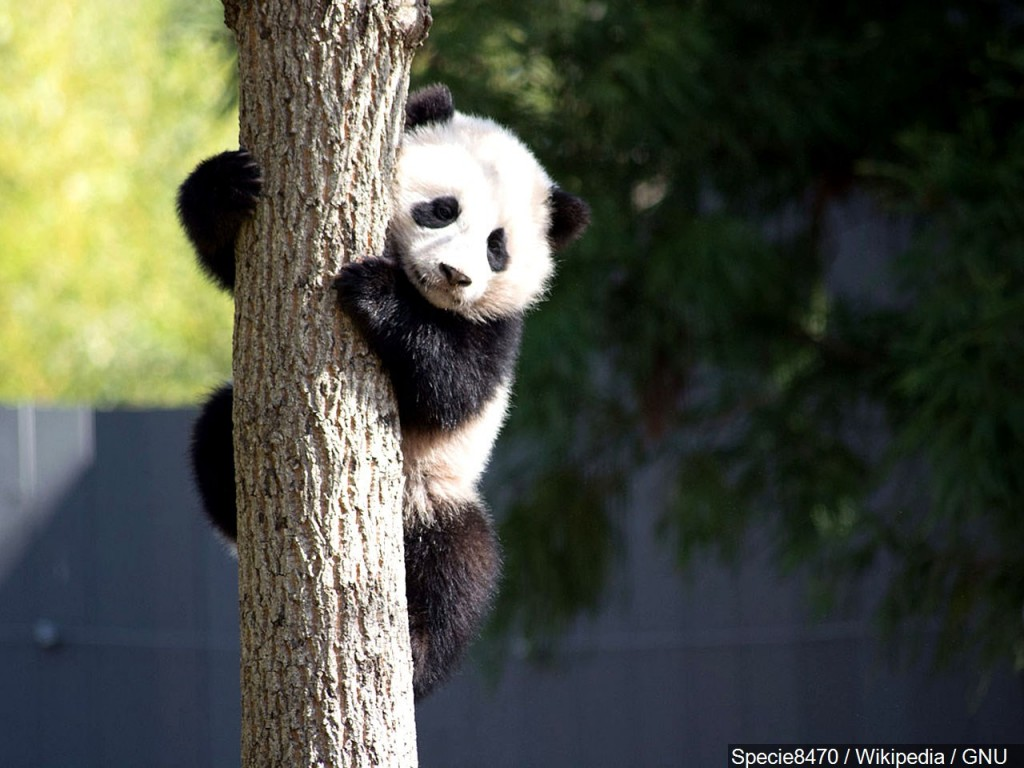 Canada's Calgary Zoo to return two pandas to China because it can't get enough bamboo to feed them