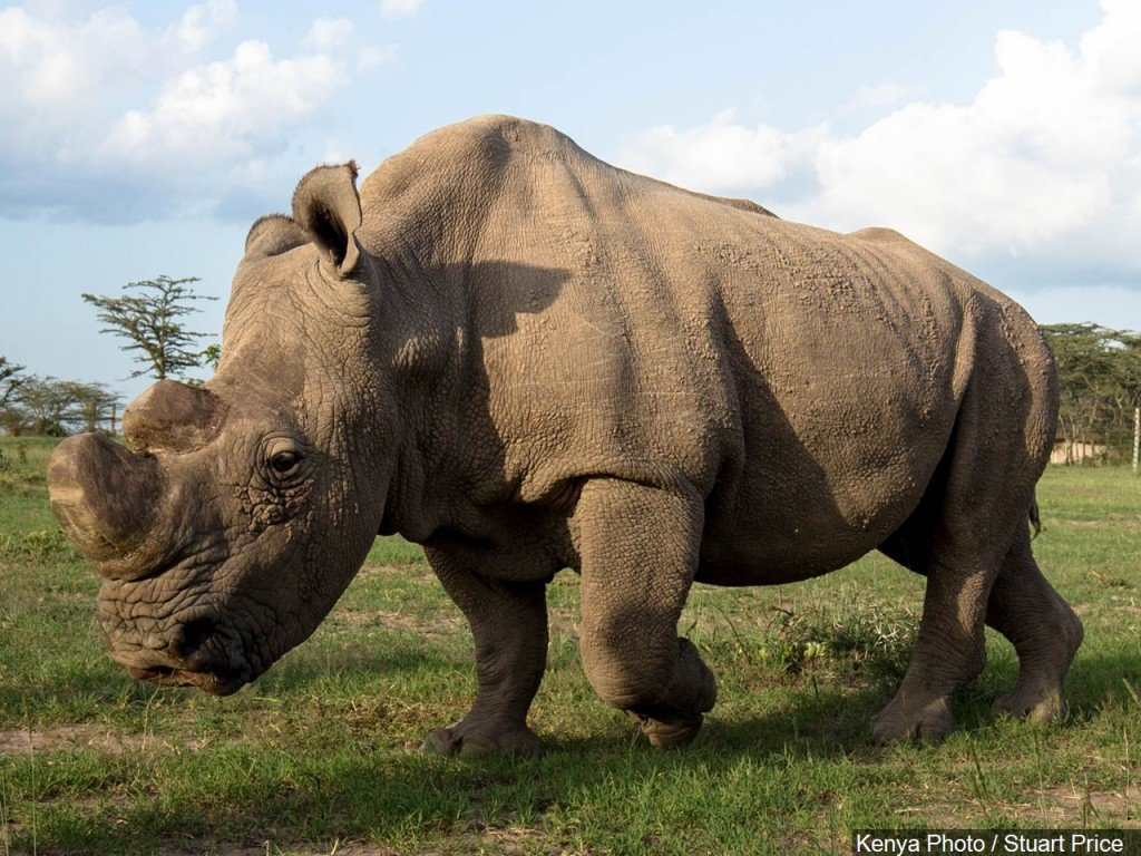 Why white rhino numbers increased 34,000%