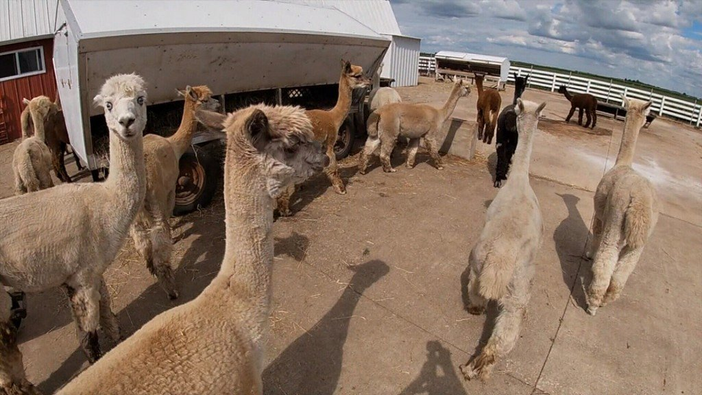 Alpacas Could Help In Fight Against Covid 19