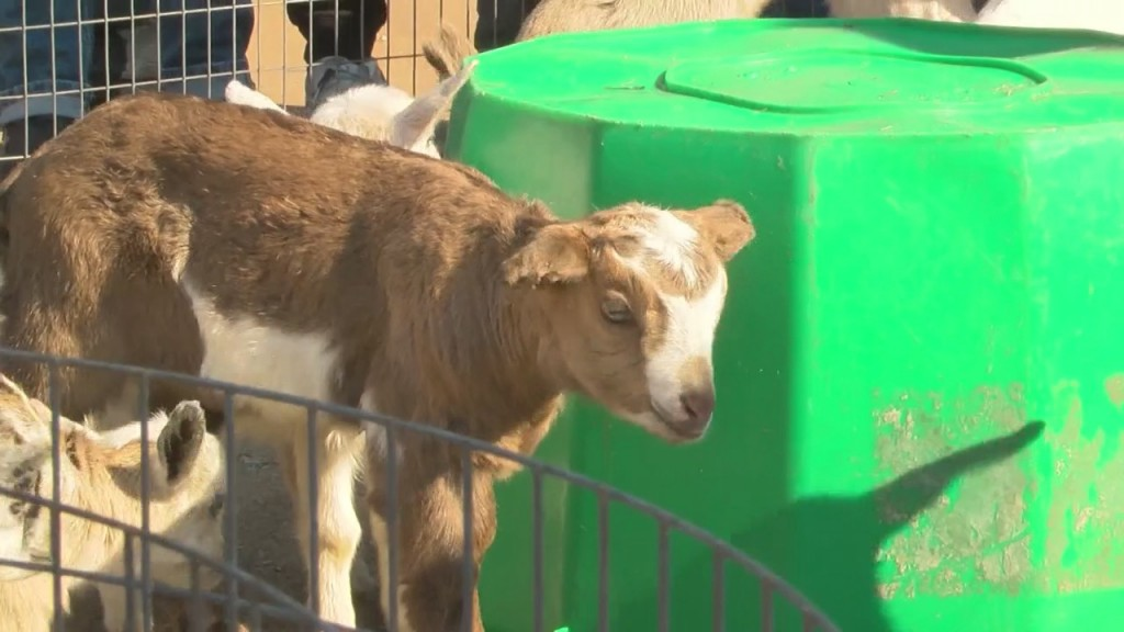 Empire Market Hosts Goats In The Garden Event
