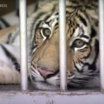 Missing Texas Tiger Transported To Animal Sanctuary