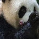 Giant Panda In French Zoo Gives Birth To 'lively' Twin Girls