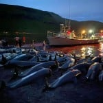 Slaughter Of Dolphins On Faeroes Sparks Debate On Traditions