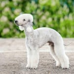 Meet The Least Obedient Dog Breeds