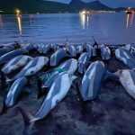 Animal Rights Group: Faeroes Should End Dolphin Slaughters
