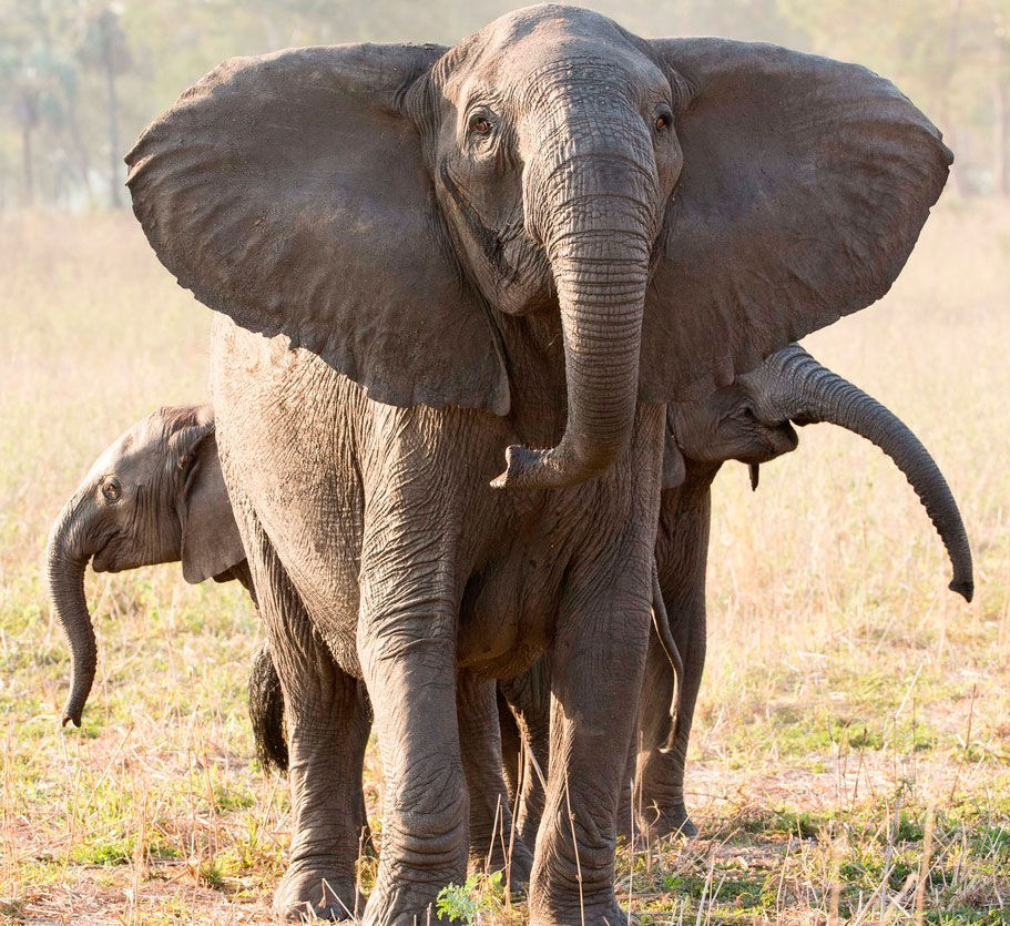 War, Poaching In Mozambique Lead To Elephants Without Tusks