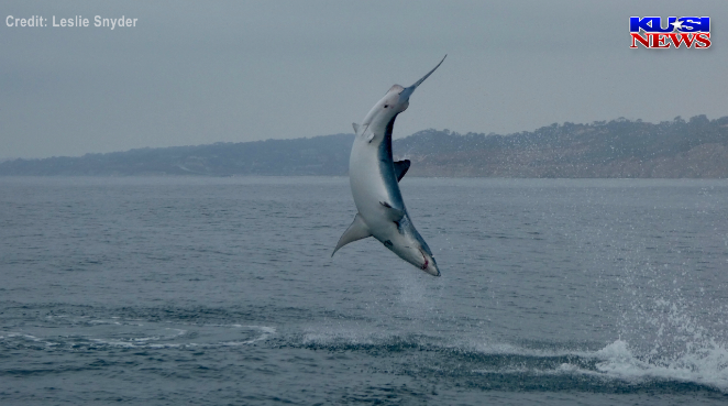 Mako Shark caught on camera jumping out of water near La
