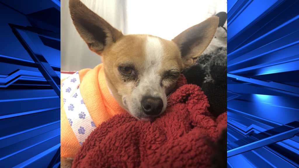 Chihuahua Injured Sd Humane