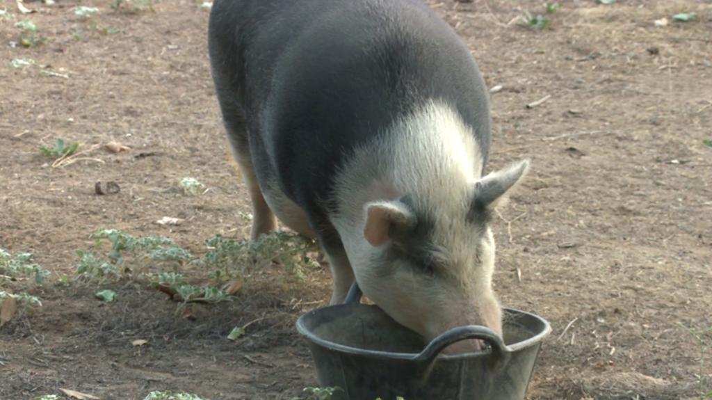 No Boundaries Farm Pig