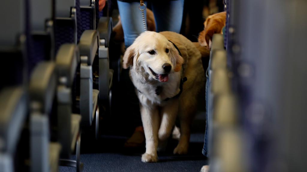 Service Dog In Aisle Of Airplane